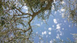 Blick durch Äste eines Olivenbaumes zum blauen Himmel mit kleinen weißen Wolken